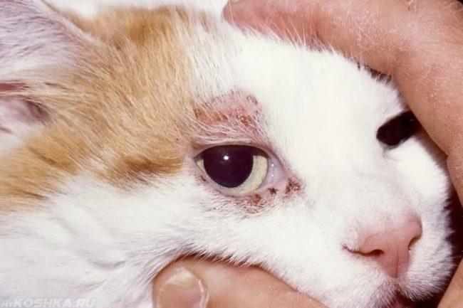 Рыже-белый кот с демодексом на мордочке