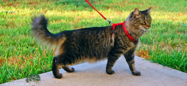 Кошка на прогулке на улице в шлейке из магазина