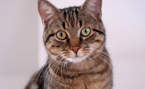 Коричневый коротошерстный полосатый кот смотрит вперед