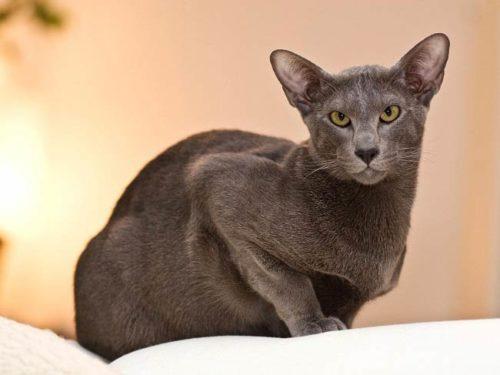 Серый короткошерстный кот сидит на белой поверхности
