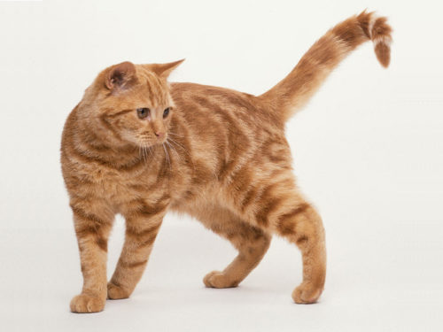 Рыжий короткошерстный кот на белом фоне