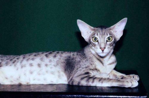 Короткошерстная кошка с большими ушами