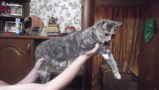 Серая молодая пушистая кошка на руках у хозяйки
