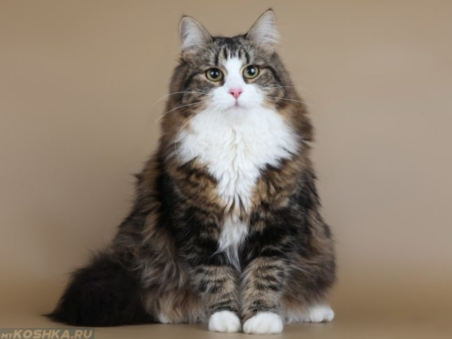 Пушистая кошка с белыми лапами