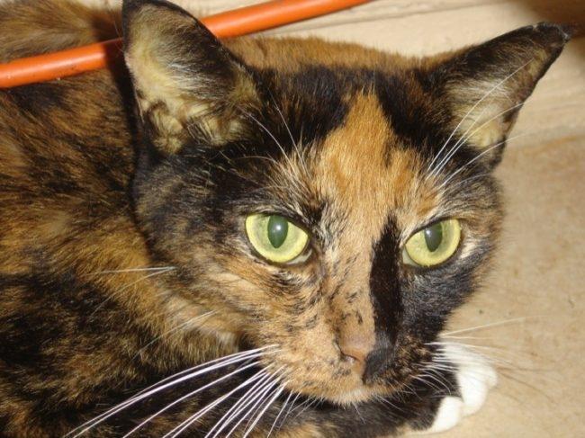 Кошка больная холестазом