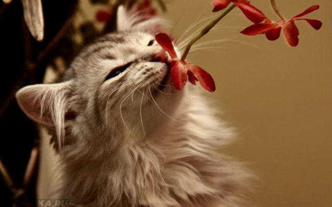 Пушистая серая кошка нюхает красный цветок