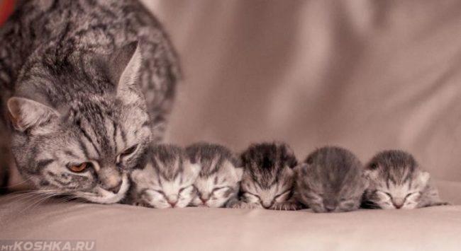 Серая кошка и пятеро котят