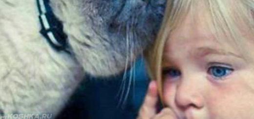 Ребёнок в квартире с породистой кошкой