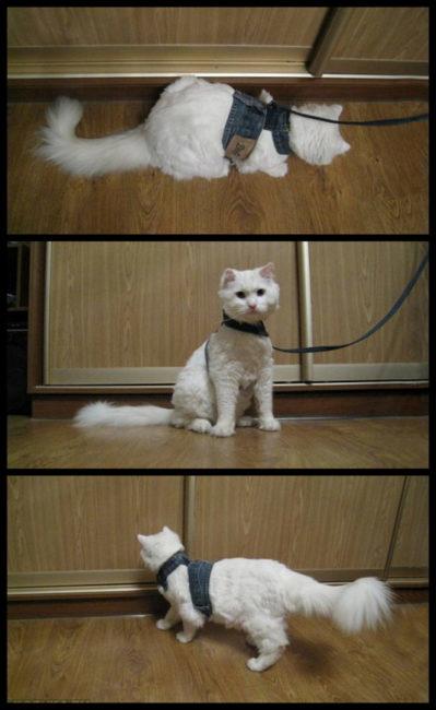 Шлейка одетая на белую кошку