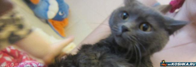 Стерилизованная кошка сразу после купания