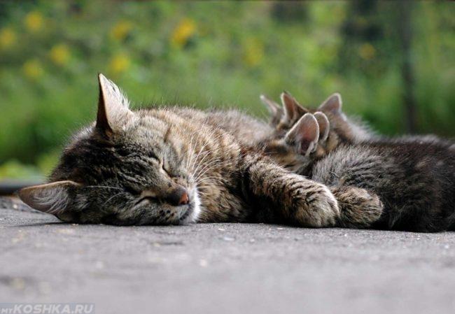 Серая кошка спит и кормит котят