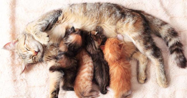Серая пушистая кошка кормит своих пушистых котят своим молоком