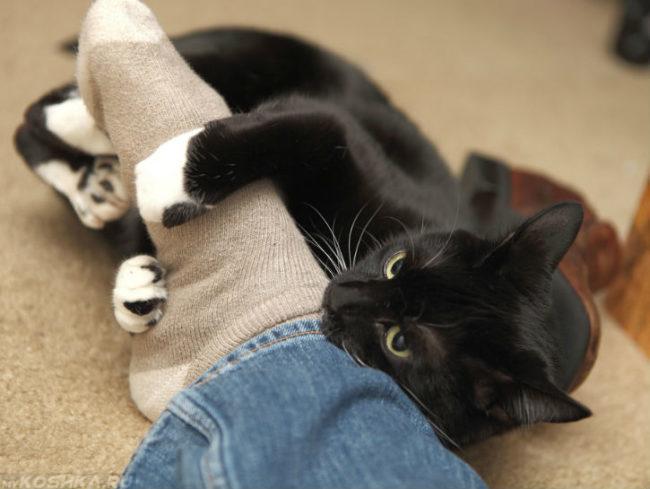 Чёрная кошка с белыми лапами вцепившаяся в ногу человека