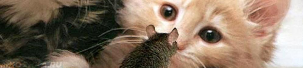 Кошка смотрит на мышку больную токсоплазмозом