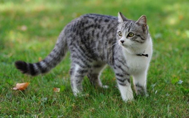 Серая кошка с ошейником на зеленой траве