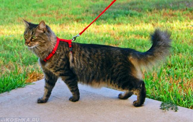 Кошка на улице с красным поводком