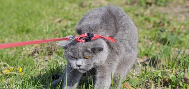Кошка в шлейке не хочет гулять на улице