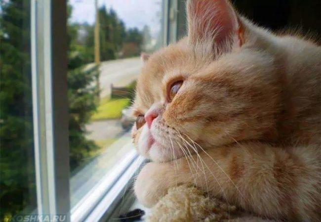 Рыжий кот грустно смотрит в окно