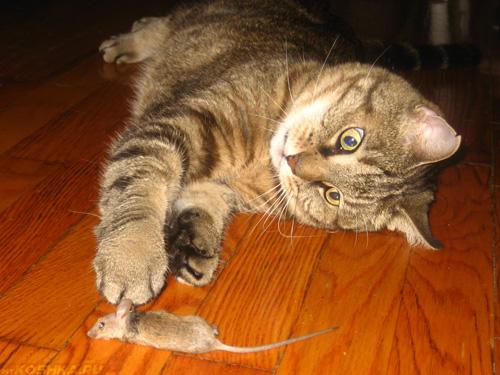Стерилизованная домашняя кошка поймала мышь и играется с ней