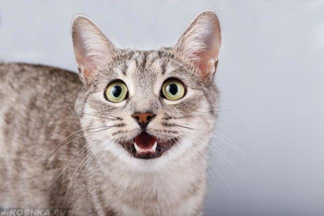 Серая кошка маяукает открыв рот
