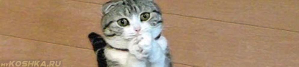 Кошка просит хозяина есть