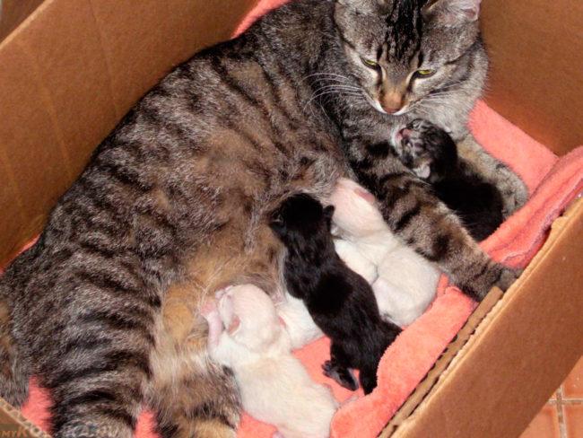 Серая полосатая кошка с котятами лежит в коробке