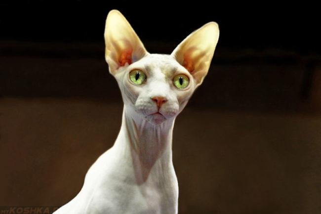 Белая кошка породы сфинкс с зелеными глазами и большими ушами