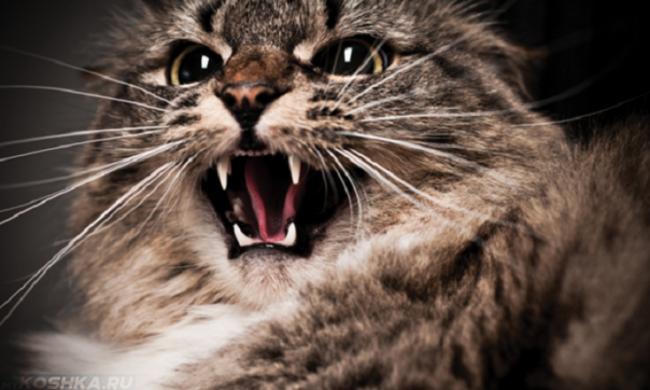 Пушистая коричневая кошка шипит показывая свои белые клыки
