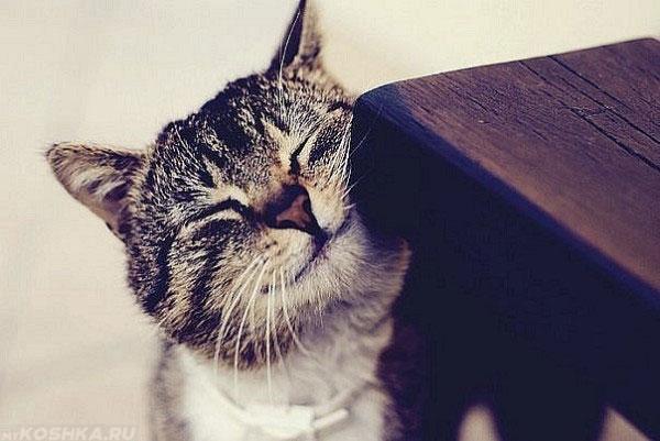 Кошка трется об деревянный стол