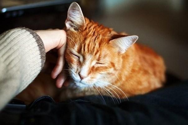 Рыжая кошка трется об руку