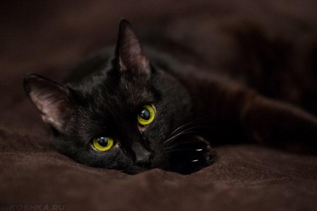 Черная кошка с зелеными глазами на темном покрывале
