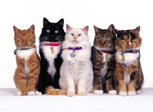 Кошки разных цветов сидящие в ряд на белом фоне