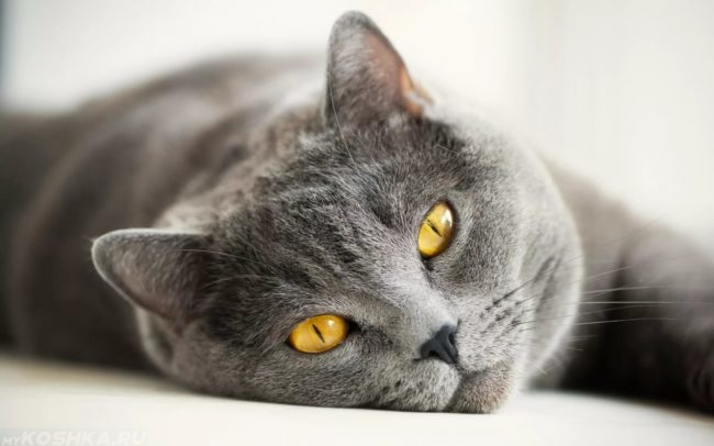 Серый кот с желтыми глазами лежит на боку