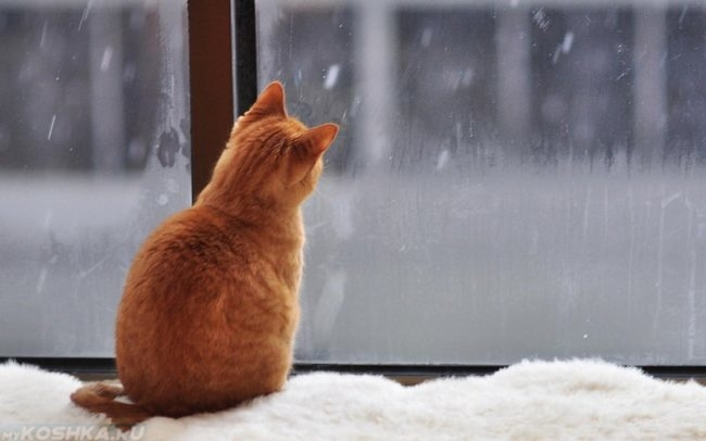 Рыжий кот смотрящий на падающий снег за окном