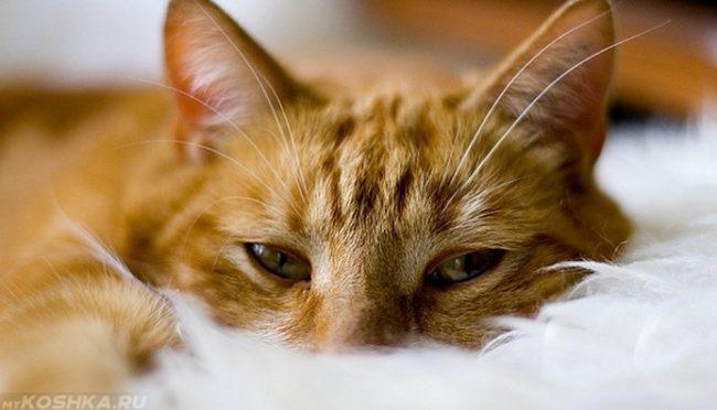 Усталый рыжий кот смотрит в камеру