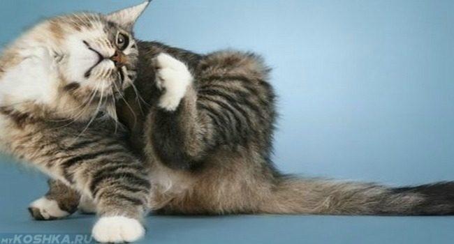 Сильный зуд и расчёсывание кошки