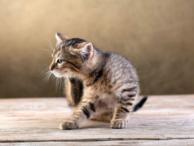 Серый полосатый котенок чешется задней лапой на полу