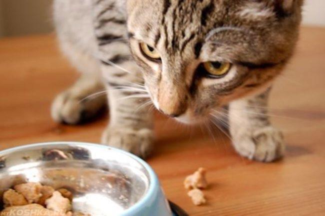 Коричневая полосатая кошка и миска с едой