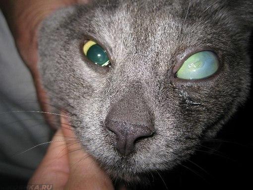 У кота на одном глазу глаукома