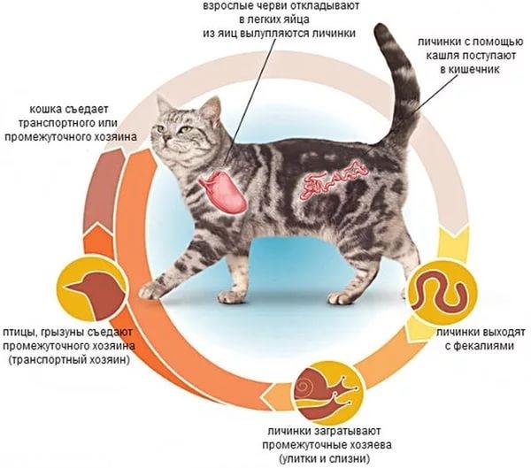 Схема цикла жизни глистов у кошек
