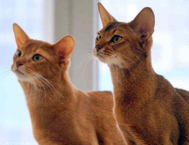 Абиссинские рыжие кошка и кот