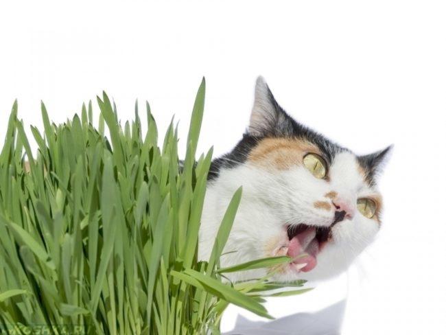 Агрессивный кот рядом с листами валерьянки