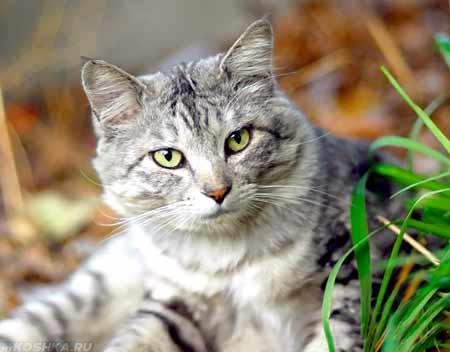 Серый кот смотрит в кадр