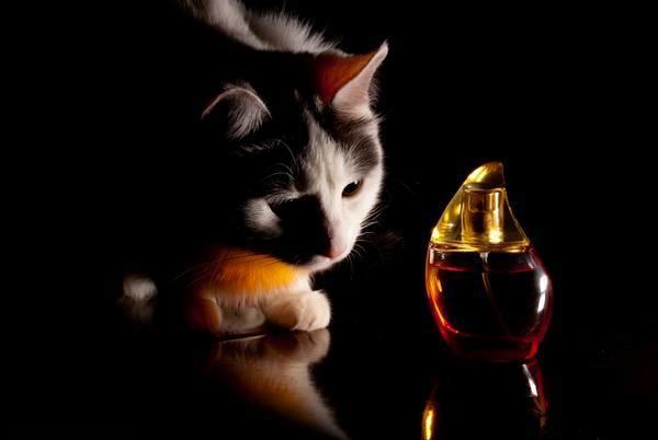 Кошка принюхивается к парфюму