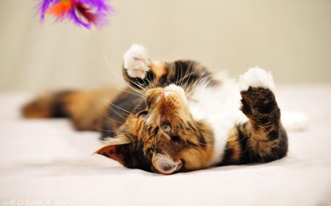 Коричневый полосатый кот лежит на полу и играет разноцветными перьями