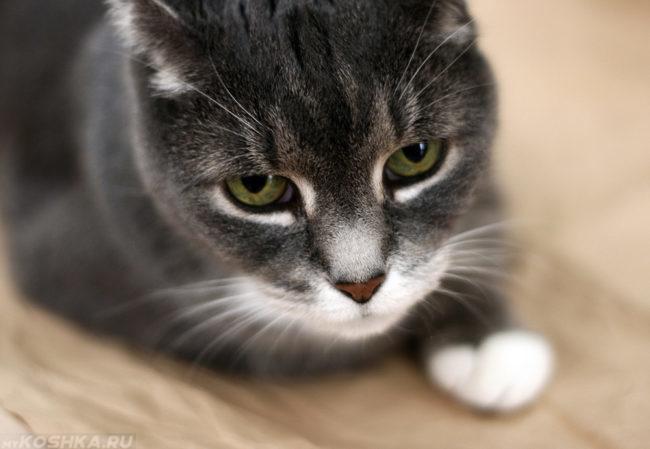 Кот с белыми лапами лежит