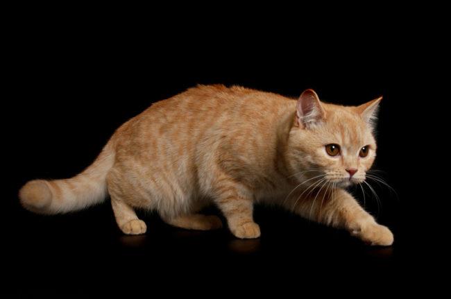 Рыжая кошка крадется в темноте