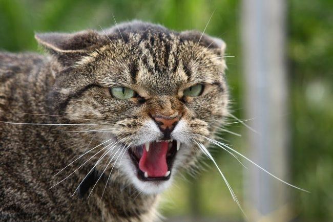 Серый полосатый кот с белыми клыками шипит