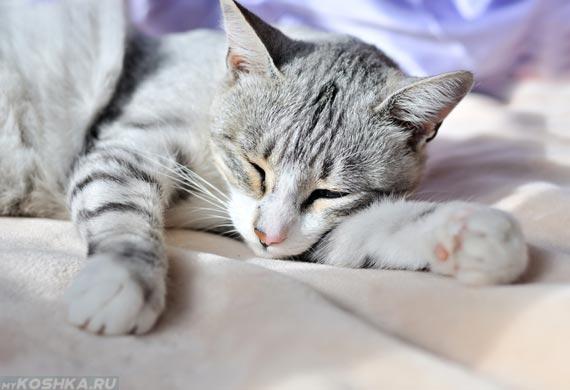 Серый кот спит на светлых простынях
