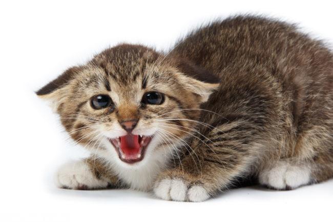 Коричневая кошка шипит прижав уши